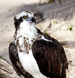 Closeup of Osprey Royalty Free Stock Photo