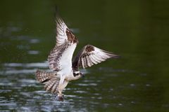 Osprey flying with with fish. Closeup of an osprey flying with fish on the James River, Va Royalty Free Stock Image