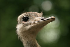 Closeup of ostrich head Stock Photos