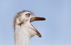 Closeup of Ostrich making rumbling sound Royalty Free Stock Photography