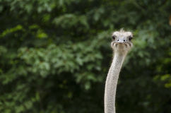 Closeup of an Ostrich, Struthio camelus Stock Photos
