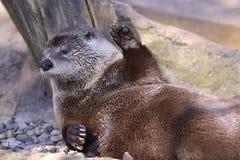 Closeup otter lying Royalty Free Stock Photo