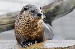 Closeup otter on rock Stock Photography