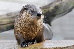 Closeup otter on rock stock photography
