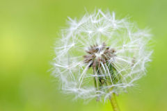 Closeup of over bloomed dandelion Royalty Free Stock Photo