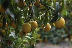 Closeup over ten oranges on the tree Stock Photography