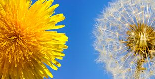 Closeup overblown dandelion head and yellow one Stock Photography