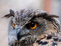 Closeup of an Owl  Stock Image