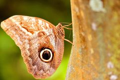 Closeup of Owl butterfly holding on to tree Stock Image