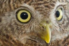 Closeup of owl eye Royalty Free Stock Photography