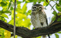 Closeup of Owl with green leaves Stock Photo