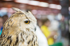 Closeup the owl was show in animal fair Royalty Free Stock Photos