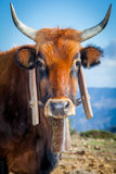 Closeup ox brown Royalty Free Stock Images