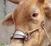 Closeup of an Ox with Harness Stock Photos