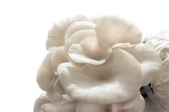 Closeup oyster mushroom. Stock Photos