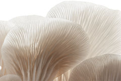 Closeup oyster mushroom. stock image