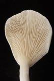 Closeup, Oyster mushroom . Royalty Free Stock Photo