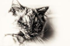Closeup på den head katten som knaprar ett mänskligt finger Arkivfoto