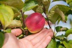 Closeup på en hand som väljer ett rött äpple från träd fotografering för bildbyråer