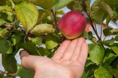 Closeup på en hand som väljer ett rött äpple från träd arkivbild