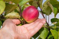 Closeup på en hand som väljer ett rött äpple från träd royaltyfri foto