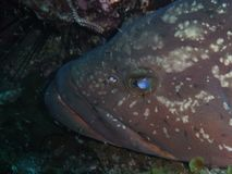 Closeup på en stor havsaborre royaltyfri bild