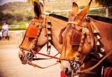 Closeup på hästar i en sele under en rida show i en turist- stad arkivbilder