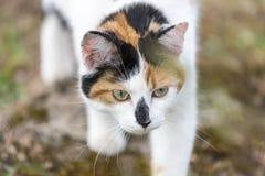 Closeup på katten som långsamt går Royaltyfri Foto