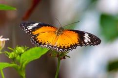 Closeup på tropiskt butterlfy royaltyfria bilder