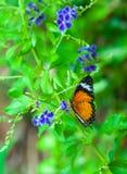 Closeup på tropiskt butterlfy royaltyfria foton