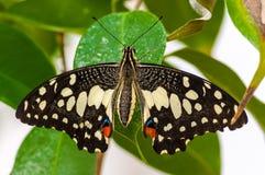 Closeup på tropiskt butterlfy royaltyfri fotografi