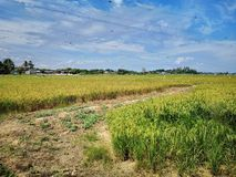 Paddy, also called rice paddy, small, level, flooded field used to cultivate rice in southern and eastern Asia. Closeup a paddy field is a flooded parcel of royalty free stock photo