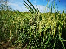 Paddy, also called rice paddy, small, level, flooded field used to cultivate rice in southern and eastern Asia. Closeup a paddy field is a flooded parcel of stock photography