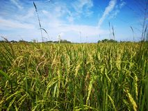 Paddy, also called rice paddy, small, level, flooded field used to cultivate rice in southern and eastern Asia. Closeup a paddy field is a flooded parcel of royalty free stock image