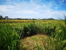 Paddy, also called rice paddy, small, level, flooded field used to cultivate rice in southern and eastern Asia. Closeup a paddy field is a flooded parcel of stock photos