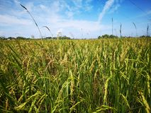 Paddy, also called rice paddy, small, level, flooded field used to cultivate rice in southern and eastern Asia. Closeup a paddy field is a flooded parcel of stock photo