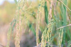 Closeup of Paddy rice field Royalty Free Stock Photos