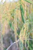 Closeup of Paddy rice field Royalty Free Stock Image