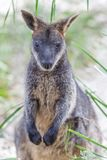 Closeup of Pademelon - native Australian marsupial. Stock Images
