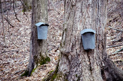 Closeup of Pails and taps on maple trees Royalty Free Stock Images