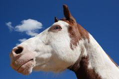 Paint Horse. A paint horse with blue eyes looks into the deep blue sky with a cloud drifting by on a sunny day Royalty Free Stock Image