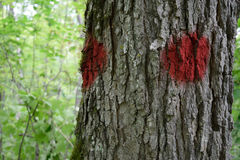 Closeup of Paint Marked Sugar Maple (Acer saccharum) Tree Royalty Free Stock Image