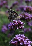 Painted Lady Butterfly on a flower. Closeup of a Painted Lady butterfly on a flower Royalty Free Stock Photos