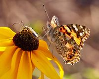 Closeup of a Painted Lady butterfly Sitting on Brown-eyed Susan Flower royalty free stock photo