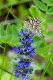 The painted lady butterfly Vanessa cardui using its extended proboscis to reach the nectar of the blue bugle flowers Ajuga gene. Closeup of the painted lady stock photography