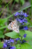 The painted lady butterfly Vanessa cardui using its extended proboscis to reach the nectar of the blue bugle flowers Ajuga gene. Closeup of the painted lady stock photo