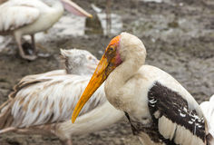 Closeup painted stork in nature Stock Photo