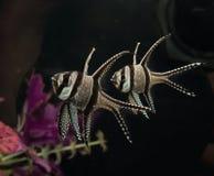 Banggai cardinalfish. Closeup of a pair of banggai cardinalfish in an aquarium setting royalty free stock photography