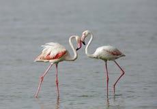 Closeup of a pair of Flamingos Stock Image