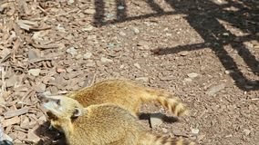 Closeup pair of wild ring-tailed coatis ask for food